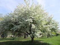 Crabapple - white blossoms s