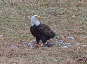 American Bald Eagle 12.8.14